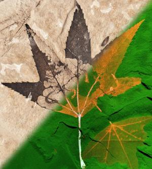 Million suns shed light on fossilized plant