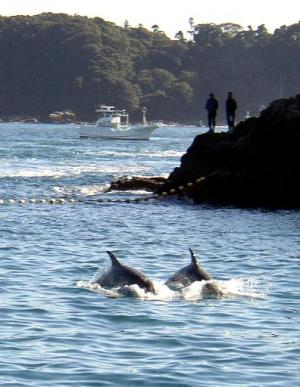 Two dolphins are herded by fishing boats near the village of Taiji, central Japan, on November 23, 2003