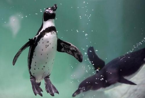 Two Humboldt penguins swim at the Aurora zoo on May 6, 2013 in Guatemala City