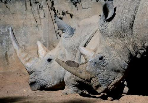 Two white rhinos are pictured at Johannesburg Zoo on July 25, 2013
