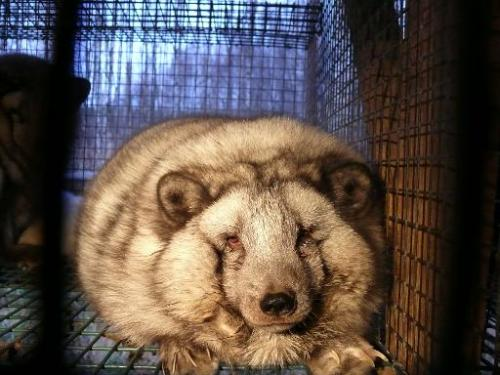 Undated Four Paws handout photo shows an overweight Polar fox with eye problems in a cage at a fur farm at an undisclosed locati