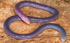 Underground amphibians evolved unique ear
