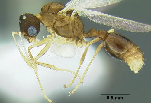 Unique specimen identifiers link 10 new species of ant directly to AntWeb