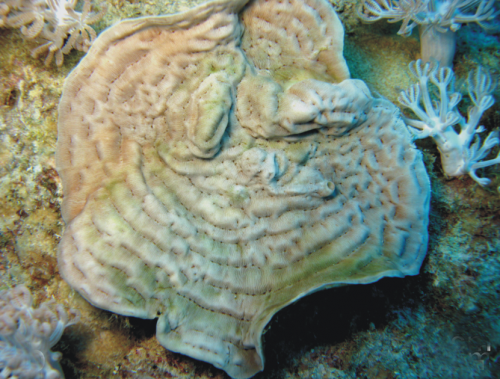 Unraveling the mysteries of the Red Sea: A new reef coral species from Saudi Arabia