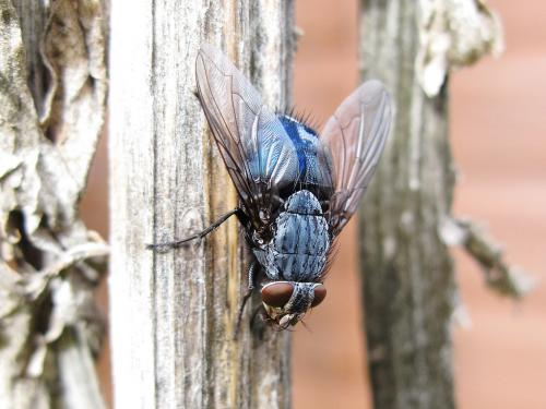 Using blowflies as 'meth detectors'