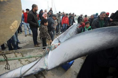 Using ropes attached to its tail, Tunisian fishermen pull a whale onto the docks which they found caught in their nets off the c