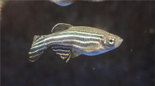 Variable gene expression in zebrafish