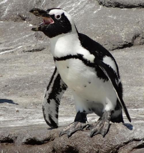 Vocal variety in African penguins