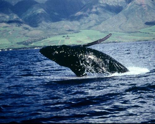 Want to save the whales? Put a price on them says ASU professor