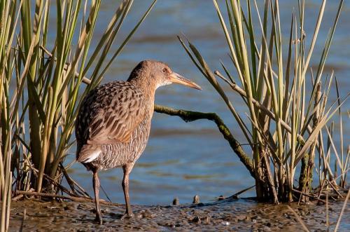 When eradicating invasive species threatens endangered species recovery