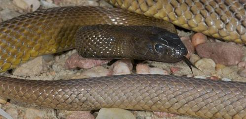 Why are some snakes so venomous?