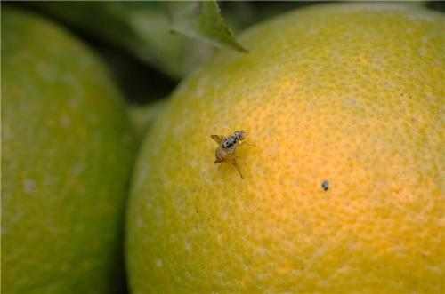 Without pesticides, fruit fly controlled in orange crops