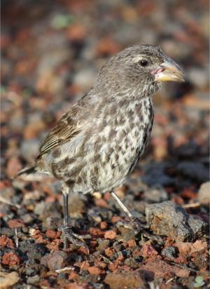 With 'self-fumigation,' Darwin's finches combat deadly parasitic flies