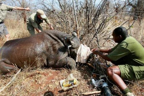 World Wildlife Fund workers de-horn a rhino on October 8, 2010 in Chipinge National Park, 360km west of Harare, to make it less
