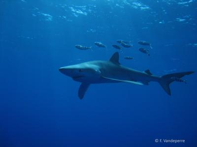 Young blue sharks use central North Atlantic nursery