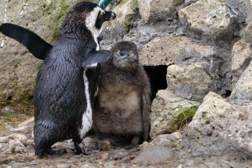 Young penguins are pictured in the zoo of Szeged, Hungary near the Serbian border on February 27, 2014