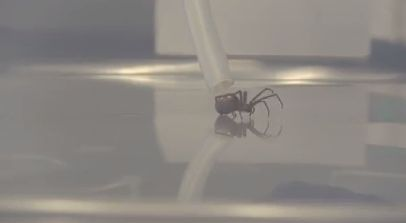'Milking' brown recluse spiders for silk