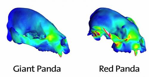 Skulls of red and giant pandas provide insight into coexistence