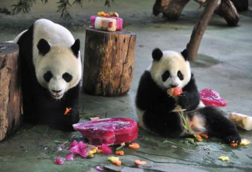 Yuan Zai (R) , the first Taiwan-born baby panda, and her mother Yuan Yuan (L) enjoy cake, during the celebration of her first bi
