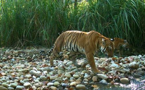 'Tiger heavyweight' Nepal hosts anti-poaching summit
