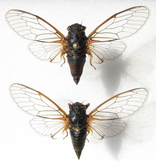 New cicada species discovered in Switzerland and Italy