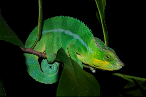 The chameleon reorganizes its nanocrystals to change colors