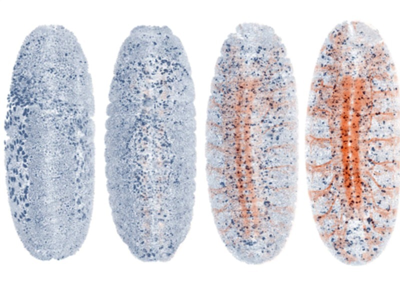 Researchers develop a system for adaptive live imaging of large living organisms