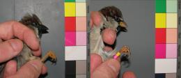 Status symbols of house sparrows: High testosterone darkens their bill