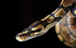 Scientists revealed Sunday for the first time how some snakes can detect the faint body heat exuded by a mouse