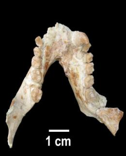 Discovery of a primate more than 11 million years old