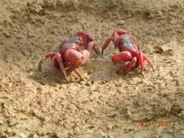 Scientists discover key to Christmas Island's red crab migration
