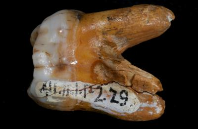 Fossil finger bone yields genome of a previously unknown human relative (w/ Video)