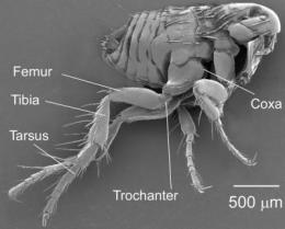 44-year-old mystery of how fleas jump resolved