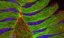 Human cells exhibit foraging behavior like bacteria