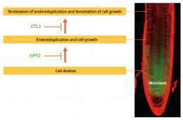 Unearthing the mechanisms controlling plant size