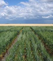 Researchers develop highest yielding salt tolerant wheat