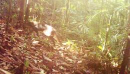 Rare Bay Cat spotted in Pulong Tau national park