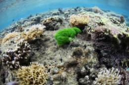 Researchers offer first proof that chemicals from seaweeds damage coral on contact