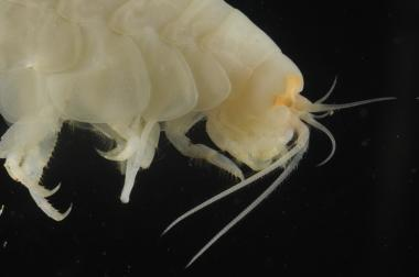 Scientists discover new species in one of world's deepest ocean trenches