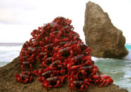 Red crabs lead the way in endurance running