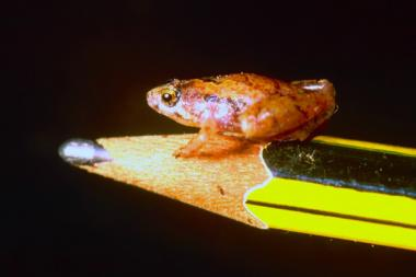 Tiny, new, pea-Sized frog is old world's smallest