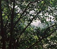 Genetic fingerprinting explains evolution of tree species unique to Avon Gorge