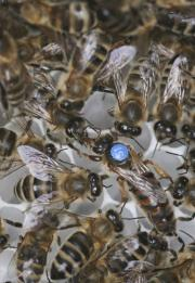Bees reveal nature-nuture secrets