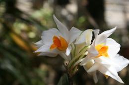 A lustrous Vietnamese orchid