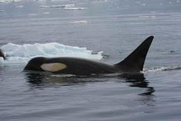 Genomic Analysis Indicates Mulitples Species of Killer Whale