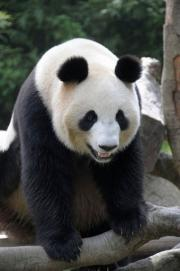 A 124-kg female giant panda