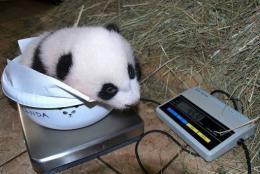 A baby panda