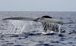A blue whale swimming in the deep waters off the southern Sri Lankan town of Mirissa