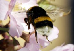 A bumblebee collecting pollen
