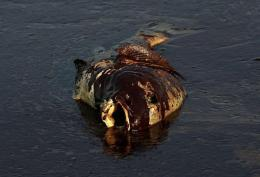 A dead fish coated in heavy oil floats near shore on June 4, near East Grand Terre Island, Louisiana
